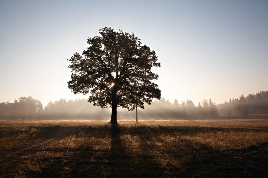 Nienaruszalne drzewo zatrzyma budowę galerii?