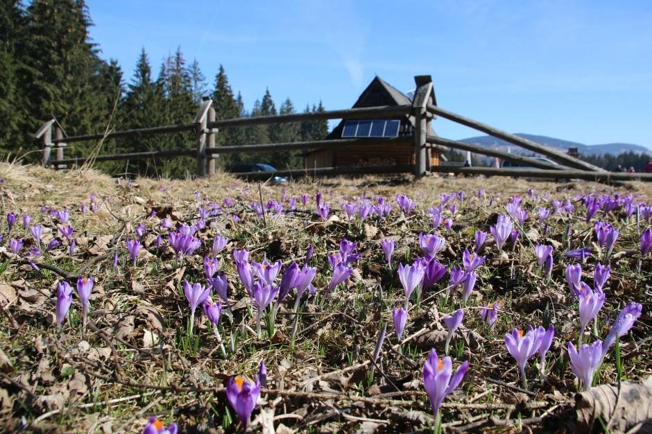 Tatry całe w Krokusach. Tłumy turystów w górach