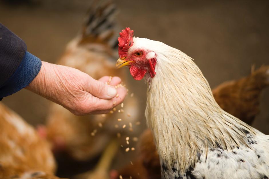 Grupa Accor i Orbis zwiększy wymagania wobec hodowców kurcząt w Polsce