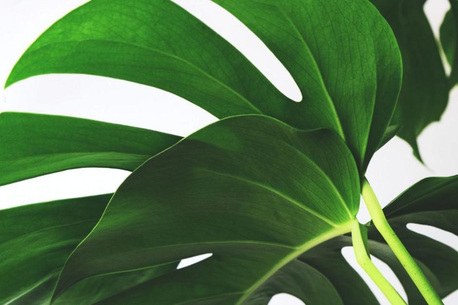 Rośliny do adopcji - za bardzo rozrosły się w biurowcach